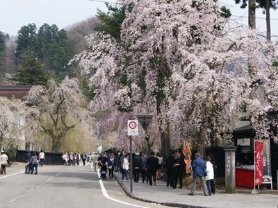 武家屋敷の桜